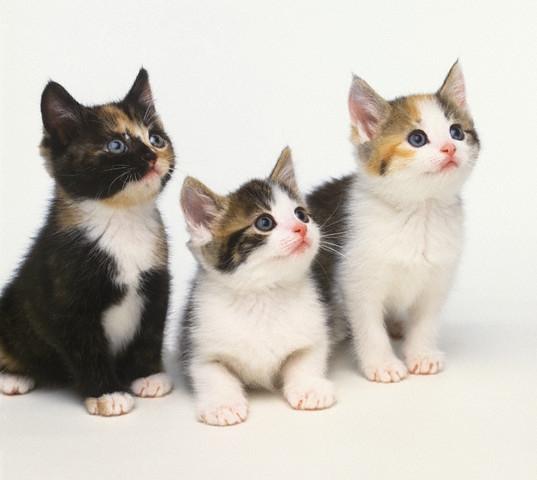 pisici_