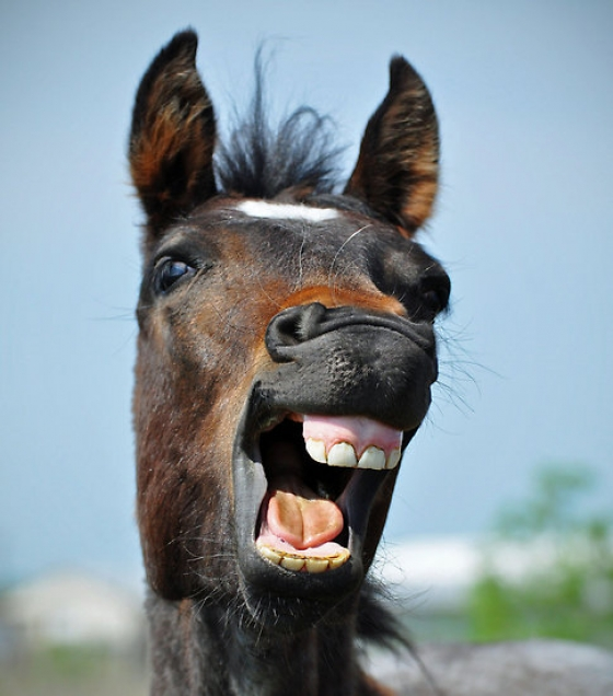 Lauphing-horse
