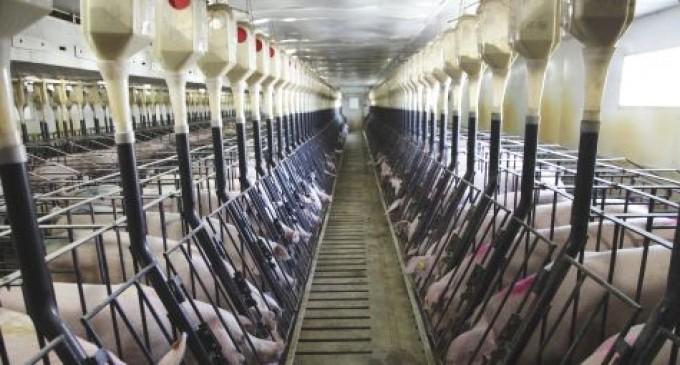 Chinezii exportă în China porcii pe care îi cresc în România