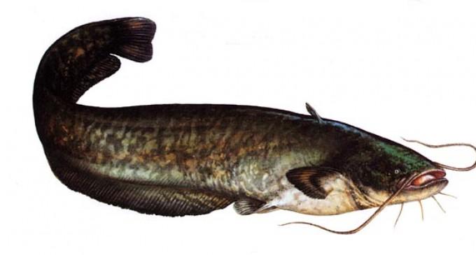 Peștele scump trage la… somn!