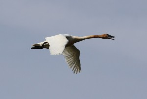 trumpeter-swan-in-flight-and-honking