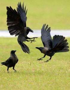 0211243ca9c13bc837749a49f5171191--crows-ravens-garden-birds