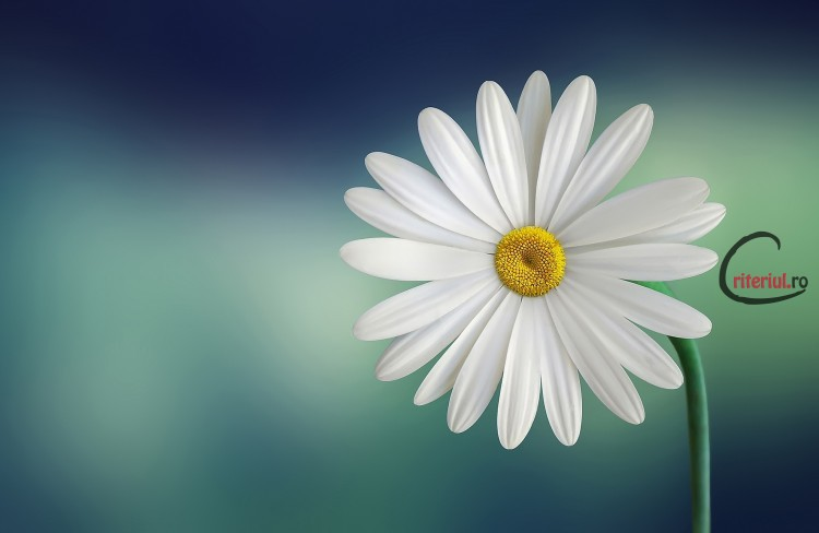 marguerite-daisy-beautiful-beauty