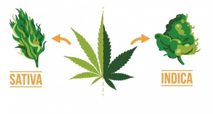 Care este diferenta intre semintele de cannabis Sativa si cele Indica?