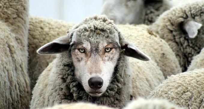 Berbecul cel mai tare, un lup printre mioare! (fabulă)
