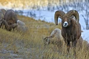 bighorn-sheep-ram_42064
