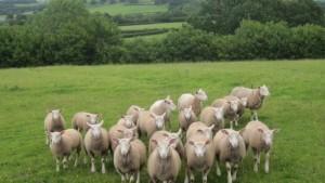 sheep-wales-644x363