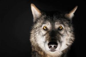 dec-jan-2017-inner-wolf-alpha-male-opener-US161205A-760x506