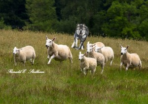 sheep-running-from