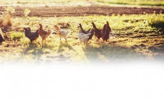 Carne de pui crescut ca la țară, accesibilă clienților din toată țara