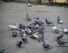 Autoritatile iau masuri impotriva porumbeilor