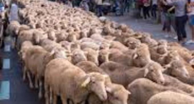 Madrid. Sute de oi au luat cu asalt orașul cu ocazia unui festival anual – International