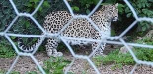 Dinafară vopsit gardul, înăuntru… leopardul