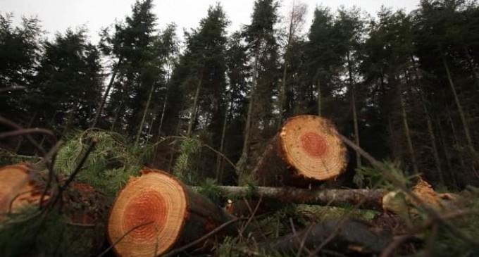 Ecologiștii cer condiții obligatorii de replantare după anunțul efectuat de MMAP în care firmele mici de exploatări forestiere vor fi sprijinte financiar