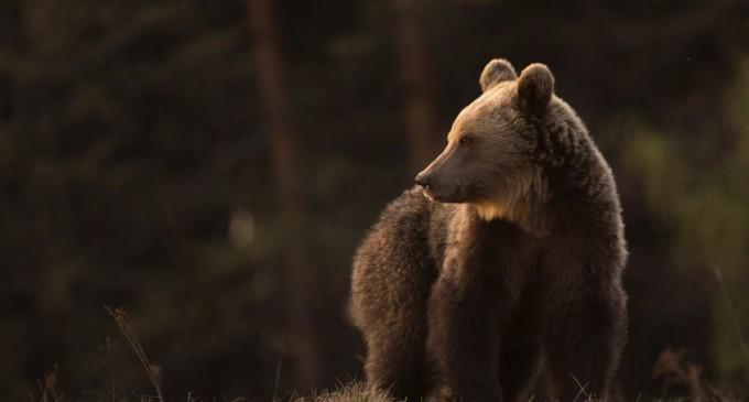 Urs îndepărtat din două zone ale municipiului Miercurea Ciuc,inclusiv din curtea unui liceu – Esential
