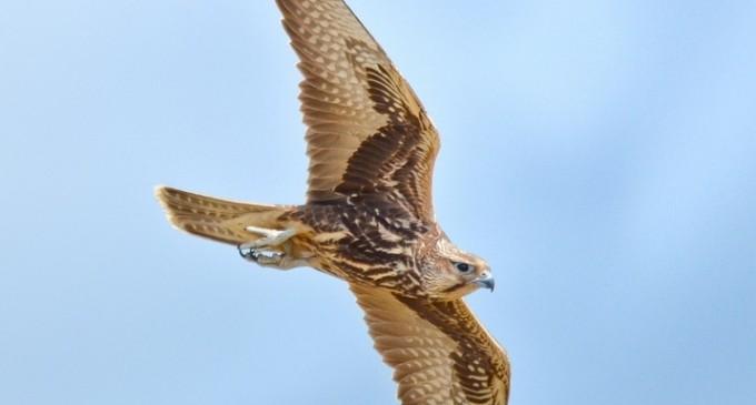 Falconeria, vânătoarea cu păsări de pradă, la un pas de legalizare – Esential