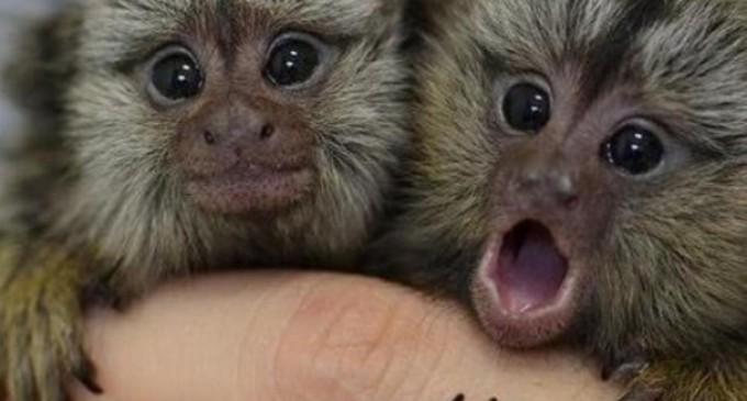 Science Weekend: Scandalos sau revoluționar? Savanții au folosit gene umane pentru a mări creiere de maimuțe – Creierul